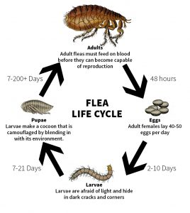 Have FLEAS invaded your house and yard? - Barber Laboratories